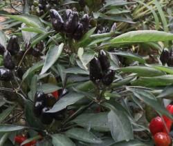 Doka Organik - Organik Acı Siyah Biber (250 gr)