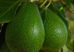 Hayrettin Aksoy - Organik Avokado (adet)