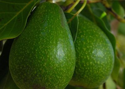Organik Avokado (adet)