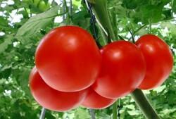 Yasemin Uğuz Kütük - Organik Köy Domates (500 gr)