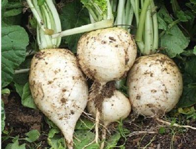 Organik Beyaz Turp (kg)
