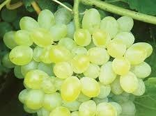 Recep Şahin - Organik Beyaz Üzüm kg