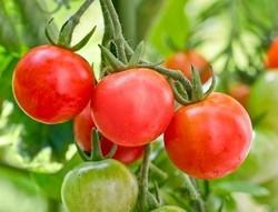 Yasemin Uğuz Kütük - Organik Cherry Domates (500 gr)