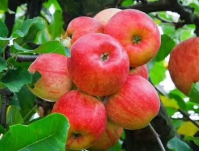 Organik Elma (kg)