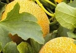 Şaban Burhan - Organik Kavun (1 adet kavun 2,500 gr gelmektedir.)