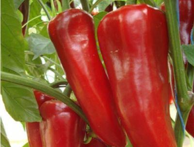 Organik Kırmızı Kapya Biber (500 gr)