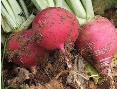 Organik Kırmızı Turp (kg)