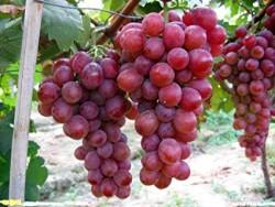 Recep Şahin - Organik Kırmızı Üzüm Kg