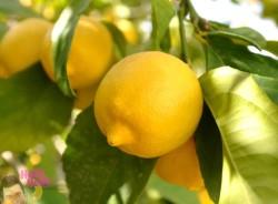 Ahmet Okan - Organik Limon (kg)