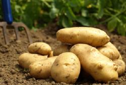 Doka Organik - Organik Taze Patates (500 gr)