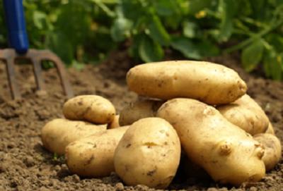 Organik Patates (kg)