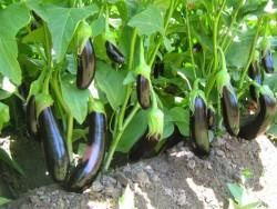 Doka Organik - Organik Patlıcan (500 gr)