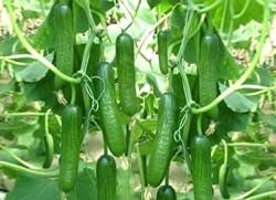 şevket karaisaoğlu - Organik Salatalık (kg)