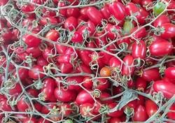 Yasemin Uğuz Kütük - Organik Şeker Çeri Domates (500 gr)