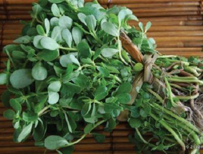 Organik Yabani Semizotu (demet)