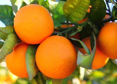 Organik Sıkmalık Portakal (kg)