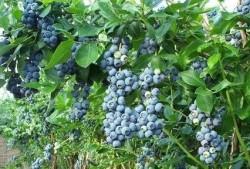 Refik Arslan - Organik Yaban Mersini 250 gr