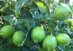 Ahmet Okan - Organik Yeşil Misket (Lime) Limon (250 gr)